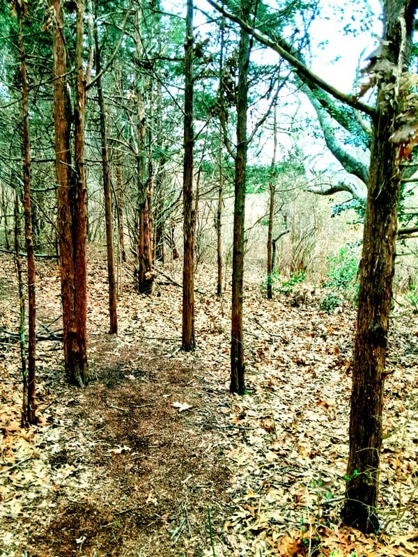 The dirt trail is ligned with thin pine trees