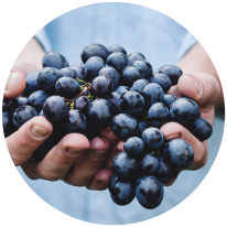 Wine grapes in the hand of a winemaker