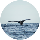 A whale breaches the waters surface