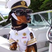 A Dachshund is dressed up like a boat captain