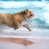 Bulldog running on a pet friendly beach