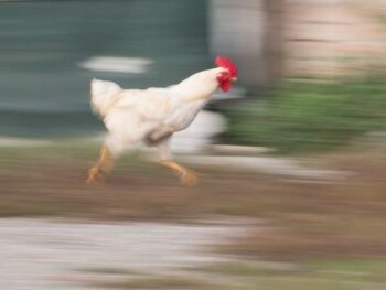 Photo of a chicken running