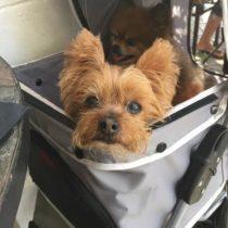 A photo of the inn's yorkie, Pretzel, in her stroller