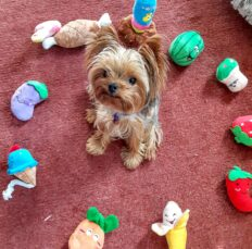 A little yorkie surrounded by toys
